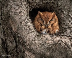 Eastern Screech Owl, Red Morph (flintframer) Tags: indiana eastern screech owl birds roosting red morph wow dattilo nature wildlife raptors canon eos 7d markii ef600mm 14x