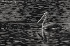 Spot-billed Pelican in monochrome. (MCSindagi) Tags: sony sonyrx10iv sonyindia sonyrx10m4 sonyrx10miv sonyrx10mk4 rx10iv rx10m4 rx10 pelicans pelican monochrome birds karnataka bengaluru bangalore telephoto
