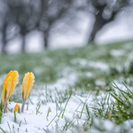 Crocuses in the snow thumbnail