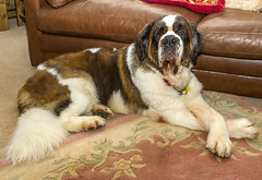Gracie - 9 Years Old (Kev Gregory (General)) Tags: gracie st saint bernard 9 years old nine black white tan ruptured disc cancerous lump operations kev gregory canon 7d dog pet loyal brave fur furry beautifil girl