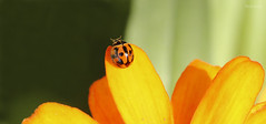 Ladybird Runway (blackcatcraft) Tags: orange garden macro ladybird flower