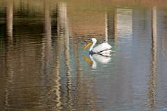 American White Pelican (linda m bell) Tags: pradoregionalpark 2018 birdwatching chino prado birds california socal americanwhitepelican