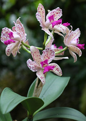 Fuschia and White Orchids (sherri_lynn) Tags: orchids flowers plants botanicalgarden nature