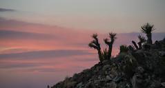 Magic Hour in Joshua Tree National Park - California (ChrisGoldNY) Tags: sonya7rii sonyalpha sonyimages chrisgoldphoto chrisgoldny chrisgoldberg forsale licensing bookcovers bookcover albumcover albumcovers sony california socal westcoast usa america joshuatree joshuatreestatepark