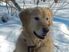 Sunny 7/52 (Lianne (calobs)) Tags: sunny aubois 52 weeks for dogs golden retriever