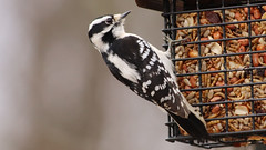 Nuts & Bugs (blazer8696) Tags: 2018 brookfield ct connecticut ecw obtusehill t2018 table usa unitedstates downy downywoodpecker dowo img0950 picidae piciformes picoides picoidespubescens picpub pubescens woodpecker