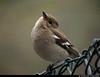 20170514_7 Female chaffinch (Fringilla coelebs) looking a bit like that kookaburra/rabbit illusion :B   Gothenburg, Sweden (ratexla) Tags: nonhumananimals wildlife chaffinch fringillacoelebs bofink nature animal animals nonhumananimal gothenburg goteborg göteborg sweden sverige cute beautiful cool 14may2017 2017 canonpowershotsx50hs scandinavia scandinavian europe nordiccountries norden skandinavien earth tellus photophotospicturepicturesimageimagesfotofotonbildbilder biology zoology djur bird birds fågel fåglar ornithology wild vild vilda life organism europaeuropean spring hona bokeh vår våren dinosaurie dinosaurier dinosaur dinosaurs ratexla photosbyjosefinestenudd unlimitedphotos almostanything favorite