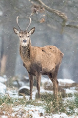 Watching you (patrikantal) Tags: wildlife nature snow richmondpark reddeer winter
