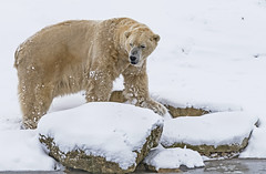 """Polar on the Rocks!!"" (cjpk1) Tags: polar bear artic ice carnivore meat eater fish berries fruit frozen endangered animal"