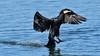 Cormorant (image 1 of 3) (Full Moon Images) Tags: rutland water wildlife trust nature reserve bird flight flying cormorant