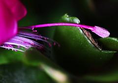 DSC_8894 Schlumbergera truncate (Christmas cactus) (PeaTJay) Tags: nikond750 sigma reading lowerearley berkshire macro micro closeups gardens indoors nature flora fauna plants flowers schlumbergera cactus