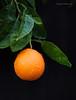 Green & Orange (jerrywb2010) Tags: yard flora citrus fruit rain availablelight