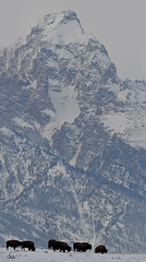 Bison in Front of the Grand Teton (teagden) Tags: bison bisonherd buffalo americanbuffalo americanbison jenniferhall jenhall jenhallphotography jenhallwildlifephotography wildlife wildlifephotography naturephotography nature wyoming wyomingwildlife landscape landscapephotography photography wild nikon winter winterscene winterphotography winterlandscape snow grandtetons grandteton mountain mountains grandtetonnationalpark gtnp tetons tetonmountains teton