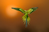 Stunning spread of a parakeet! (chandra.nitin) Tags: animal bif bird flying highkey home male nature parakeet roseringedparakeet newdelhi delhi india