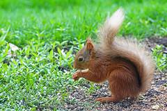 Red Squirrel, St Bees, Cumbria, England (Terathopius) Tags: sciurusvulgaris redsquirrel stbees cumbria greatbritain gb unitedkingdom uk