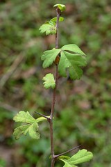 *Crataegus monogyna, ONE-SEEDED HAWTHORN seedling (openspacer) Tags: crataegus hawthorn jasperridgebiologicalpreserve jrbp nonnative rosaceae seedling tree