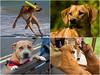 Bella Ella RIP 2005-2018 (fstop186) Tags: ella zee shiloh bramble leo dogs montage tribute littledoglaughedstories