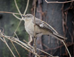 Mockingbird (Goggla) Tags: nyc new york manhattan battery park urban wildlife bird northern mockingbird batterypark