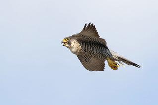 Peregrine falcon (female) Manchester 9P1A2271