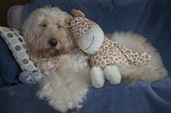04/52 ... Feeling sleepy (Chickpeasrule) Tags: evie goldendoodle sofa sleepy sleeping sunday toys giraffe mouse 52weeksfordogs