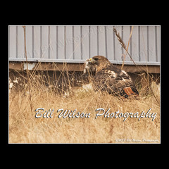 red-tailed hawk with prey (wildlifephotonj) Tags: redtailedhawk redtailedhawkwithprey wildlifephotographynj naturephotographynj raptor raptors wildlifephotography wildlife nature naturephotography wildlifephotos naturephotos natureprints birds bird hawk hawks