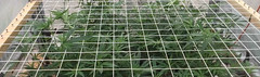 SCROG-growing-in-tight-spaces (Watcher1999) Tags: growing marijuana cannabis weed growers seed light seeds medicine medical complete guide free journal advices