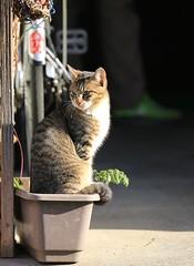 町猫 (keiko*has) Tags: おとなの宿題 宇都宮市 7dwf sunday fauna cat perfect