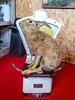 (SMB-PHOTOGRAPHIC) Tags: aquaterra taxidermie taxidermy curiosité curiosity dead animaux animals skull faune faun