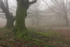 Niebla en el hayedo (Carpetovetón) Tags: niebla paisaje montaña fog sonya6000 hierba bosque haya hayedo árbol verde musgo