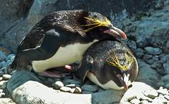 Penguin 2 (Cornishcarolin. Stupid busy!! xx) Tags: devon httpswwwlivingcoastsorguk birds penquins nature 1001nights 1001nightsmagiccity 1001nightsmagicpeacock
