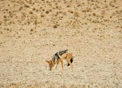 Driving through the Namib Desert (197travelstamps) Tags: namibia africa namib desert travel 197travelstamps adventure dune sossusvlei sesriem naukluft national park wild life wildlife jackal