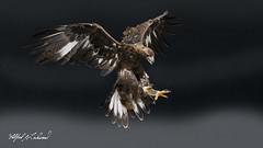 Golden Eagle_T3W3137 (Alfred J. Lockwood Photography) Tags: alfredjlockwood nature bird flight landing goldeneagle canadianraptorconservancy crc canada ontario autumn morning