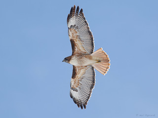 Red-tailed Hawk -- western