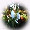 Snowdrops (amy's antics) Tags: wah wearehere snowdrops flowers circle