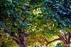 Dos catalpas (Franco D´Albao) Tags: francodalbao dalbao nikond60 tree catalpa wood luz light