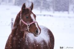 180103-44 Sous la neige (clamato39) Tags: cheval horse animal neige snow hiver winter rural provincedequébec québec canada