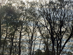 Trees This Morning. (dccradio) Tags: lumberton nc northcarolina robesoncounty outside outdoors tuesday morning goodmorning tree trees sky nature landscape branches treebranches treelimbs canon powershot elph 520hs clouds bluesky