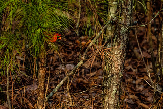 Cardinal in Pines