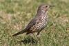 Sage Thrasher ~(Oreoscoptes montanus) (Joyce Waterman) Tags: oreoscoptes montanus sage thrasher woodlawn cemetary