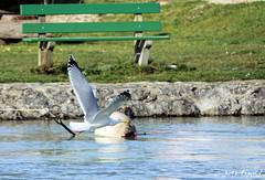 En rase-mottes sur La Thièle ! (jean-daniel david) Tags: oiseau oiseaudeau goéland rivière eau banc vert pelouse bouée yverdonlesbains