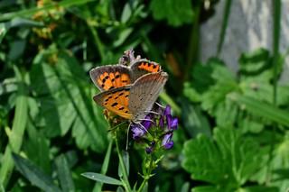 small copper butterfly  ( Lycaena phlaeas  )  DSC_0434