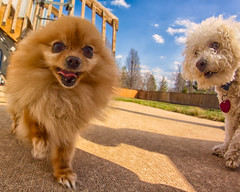 """""""You look quite fetching!"""" (•tlc•photography•) Tags: buddy buttercup dog dogs yard concrete sky clouds awestruck oddlook fetching funny"""