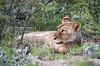 Namibia Etosha Lion Relax (Sas & Rikske) Tags: canon eos1d x canoneos1dx canon100400 eric bruyninckx riksketervuren namibië namibia namib animal animals safari africa afrika etoshagamepark etosha game park etoshapan pan greatwhiteplace great white place oshindonga ndonga landscape green blauwevogelreizen 2017 lion lions leeuw