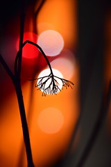 a final bow (James_D_Images) Tags: silhouette plant stem dead dying seasons bokeh orange red white bent bowed sooc
