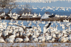 Snow Geese at Middle Creek Wildlife Management Area-27 (Scott Alan McClurg) Tags: anatidae anseriformes anserinae anserini aves ccaerulescens chen federal federalwildlifenaturepreserve flickr flap flapping flight flock flying geese goose landing life middlecreek migrate migration nature naturephotogtaphy photography pond preserve resevoir snow snowgeese snowgoose water white wild wildlife