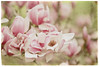Magnolia Blossoms (jeanne.marie.) Tags: magnolia blossoms floweringtrees pink green textured spring 100xthe2018edition 100x2018 image28100
