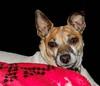 Susie and her blanket (david/x) Tags: susie dog pet small cute lovable sweet blanket red black eyes