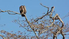 Headless vulture (Nagarjun) Tags: safaritrektourscoke safari nairobinationalpark kenya africa wildlife mosesnjomo brown dawn morning sunrise sunshine