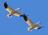 Snow Geese in flight (Robyn Waayers) Tags: snowgoose snowgeese chencaerulescens saltonsea robynwaayers