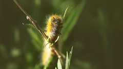 Onwards and Upwards (Vincent Monsonego) Tags: sony α αlpha alpha ilce7rm2 a7rii a7r2 sonyalphadslr fe 2470mm f28 gm 2470mmf28gm sel2470gm zoom lens macro nature insect caterpillar fluffy cute